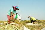 Rice Farming Indonesia