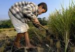 Rice Farming Honduras